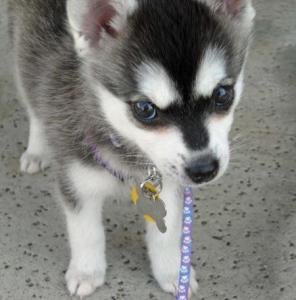 Chiot Alaskan Klee Kai femelle (Mini husky) A DONNER