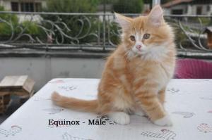 Chatons Norvégiens  1 mâle du nom de Equinox