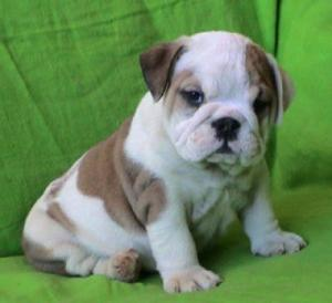 A Donner Disponible 3 chiots type Bulldog Anglais