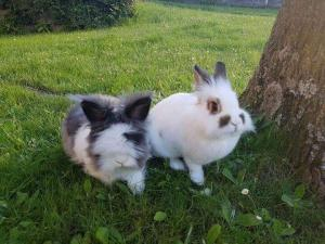 Two lovely rabbits - lapins nain - looking for a new home