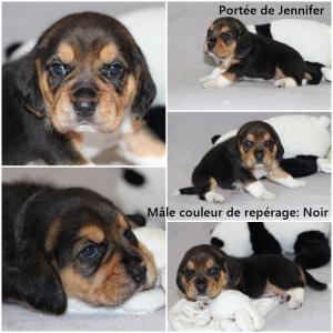 Chiot Beagle Pedigree tricolore