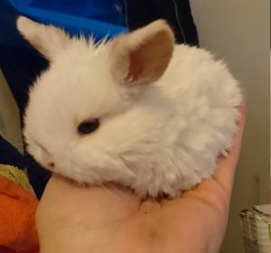 Bébés lapins bélier à réserver pour le 24 février