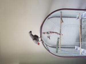 perroquet gris du gabon mâle