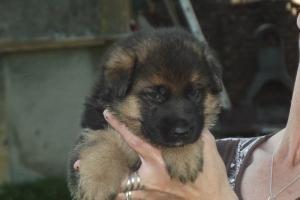 A DONNER: Chiots berger allemand lof à donner