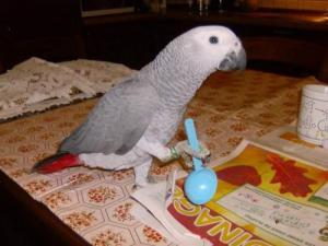 A DONNER: perroquet gris du Gabon femelle