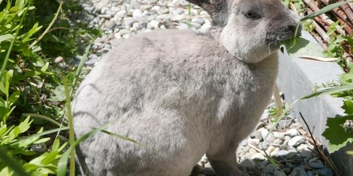 lapin à donner