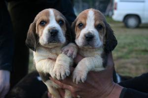 DONNE Magnifiques chiots Beagle male et femelle