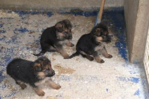 Chiots berger allemand pure race  A DONNER