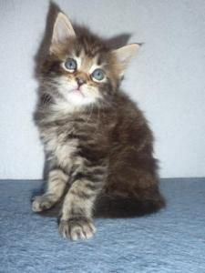 Chatons Maine Coon pure race male et femelle A DONNER