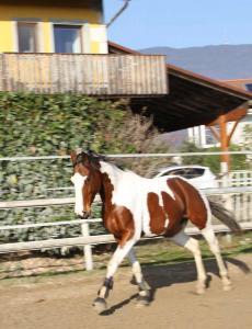 Splendide cheval pie bai