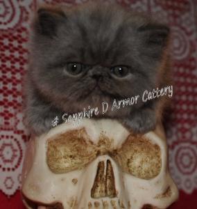chaton mâle Bleu persan solide