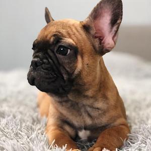 Adorable Chiots bulldog Francais