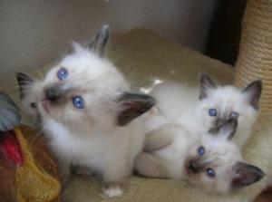Sublimes Chatons Type Sacre de Birmanie,
