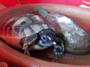 Bébés tortues boettgeri