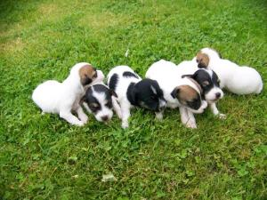 Chiots type jack russel a adopter