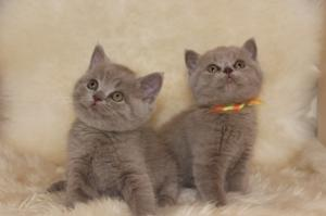 Chatons Scottish Fold et British