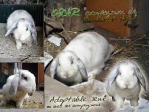Oscar, beau lapin croisé avec du Bélier