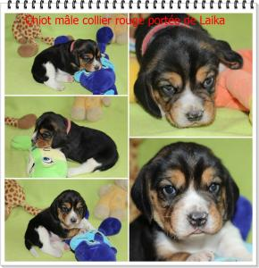 Chiot Beagle PEDIGREE