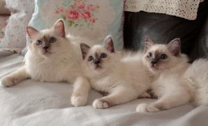 Magnifiques chatons race sacré de Birmanie a donner