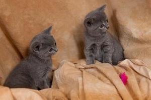 A DONNER: Chatons Chartreux male et femelle