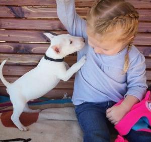 Schöner 12 Wochen alter Bullterrierhund für Verkauf.