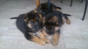 A DONNER: chiots Berger allemand pure race